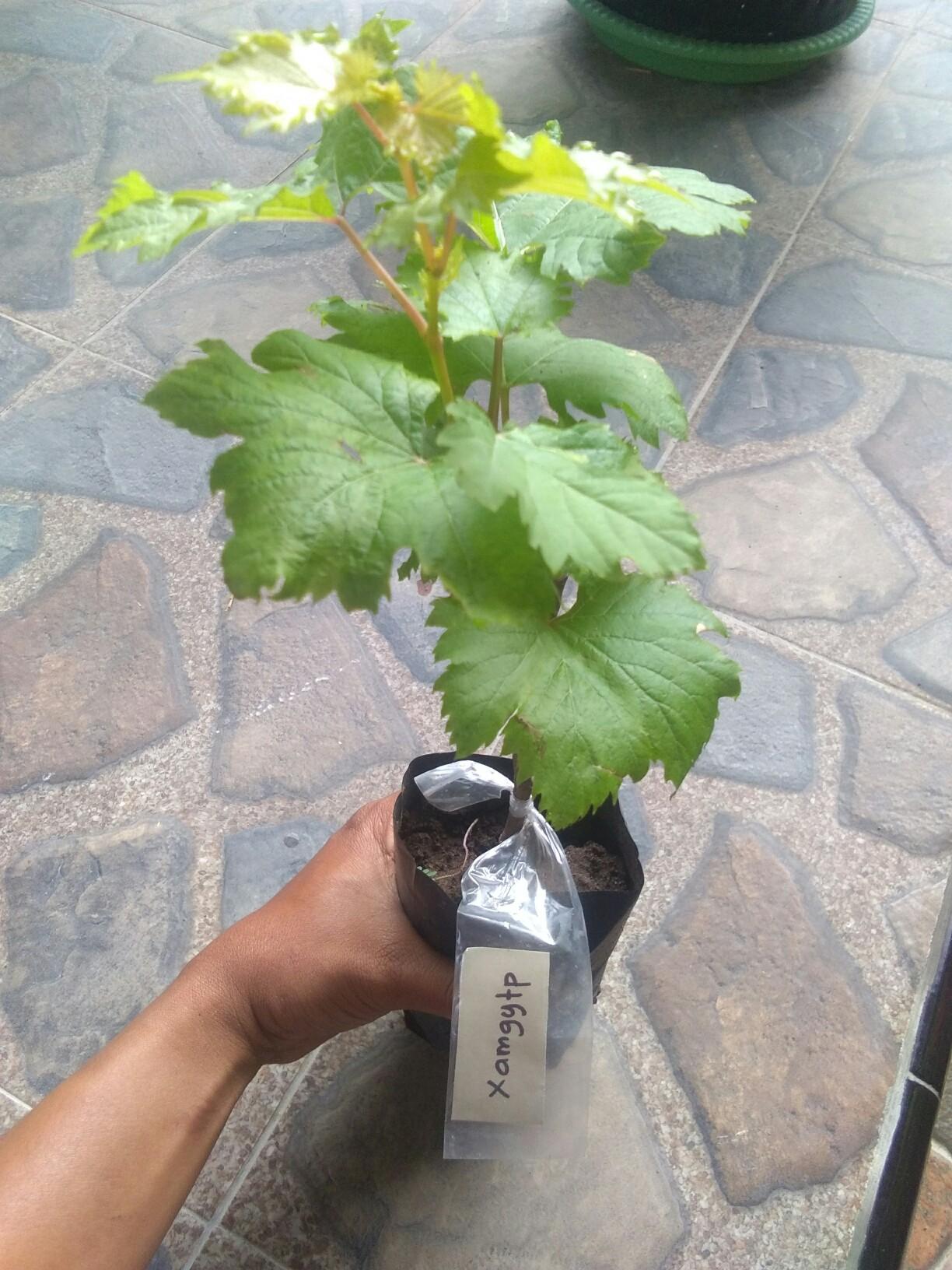 Jual bibit tanaman buah anggur xamgytp
