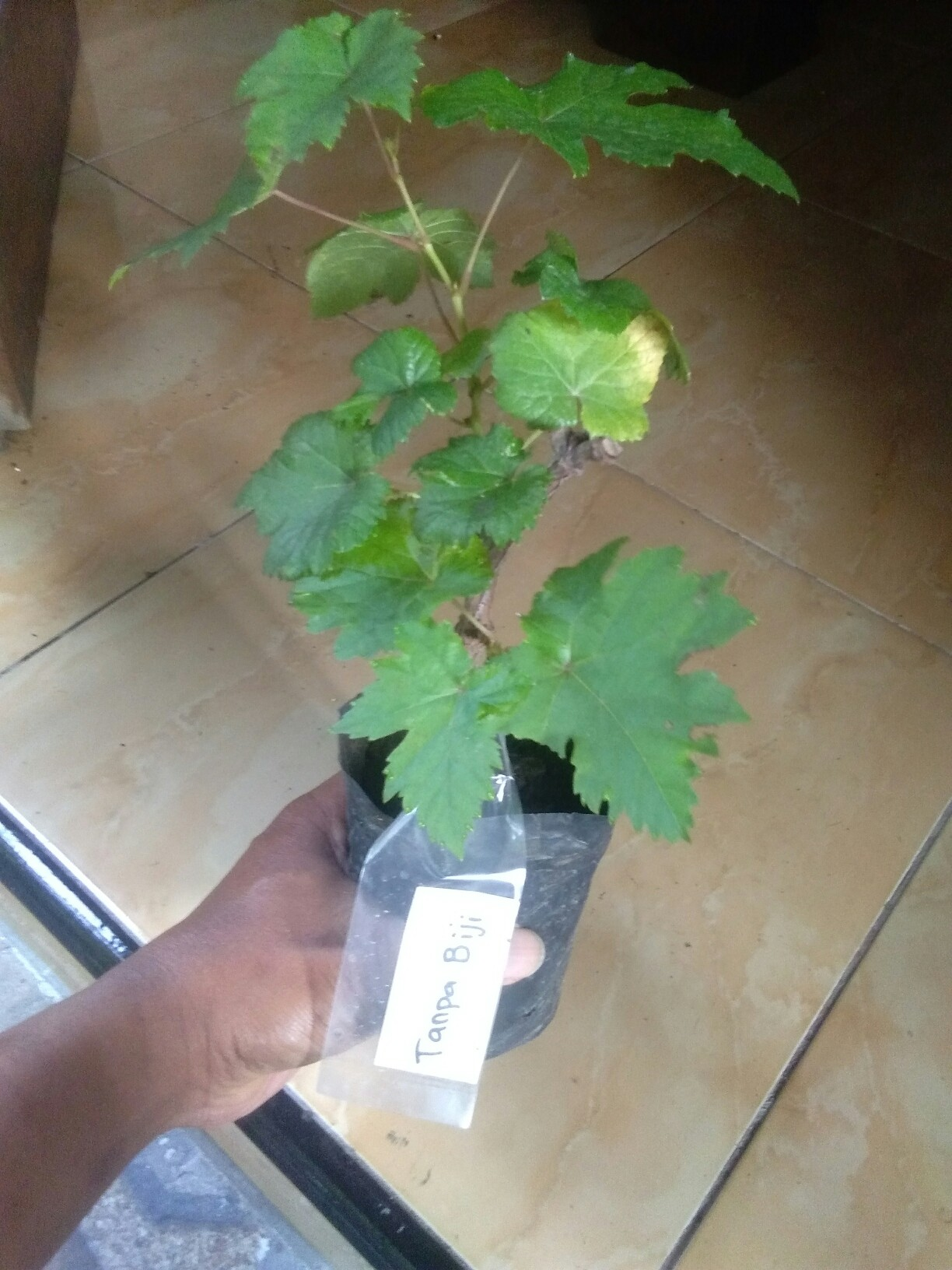 Jual bibit tanaman buah Anggur Tanpa Biji