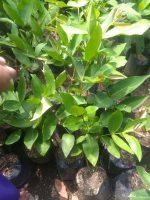 Jual bibit tanaman buah jambu singapur