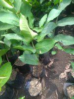 Bibit tanaman buah jambu super green taiwan