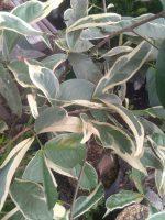 Jual tanaman buah jambu fariegata