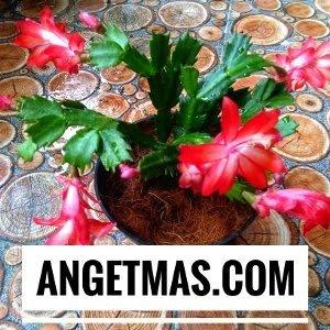 Tanaman bunga Wijaya Kusuma kepiting