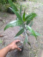 Bibit tanaman daun Gandarusa