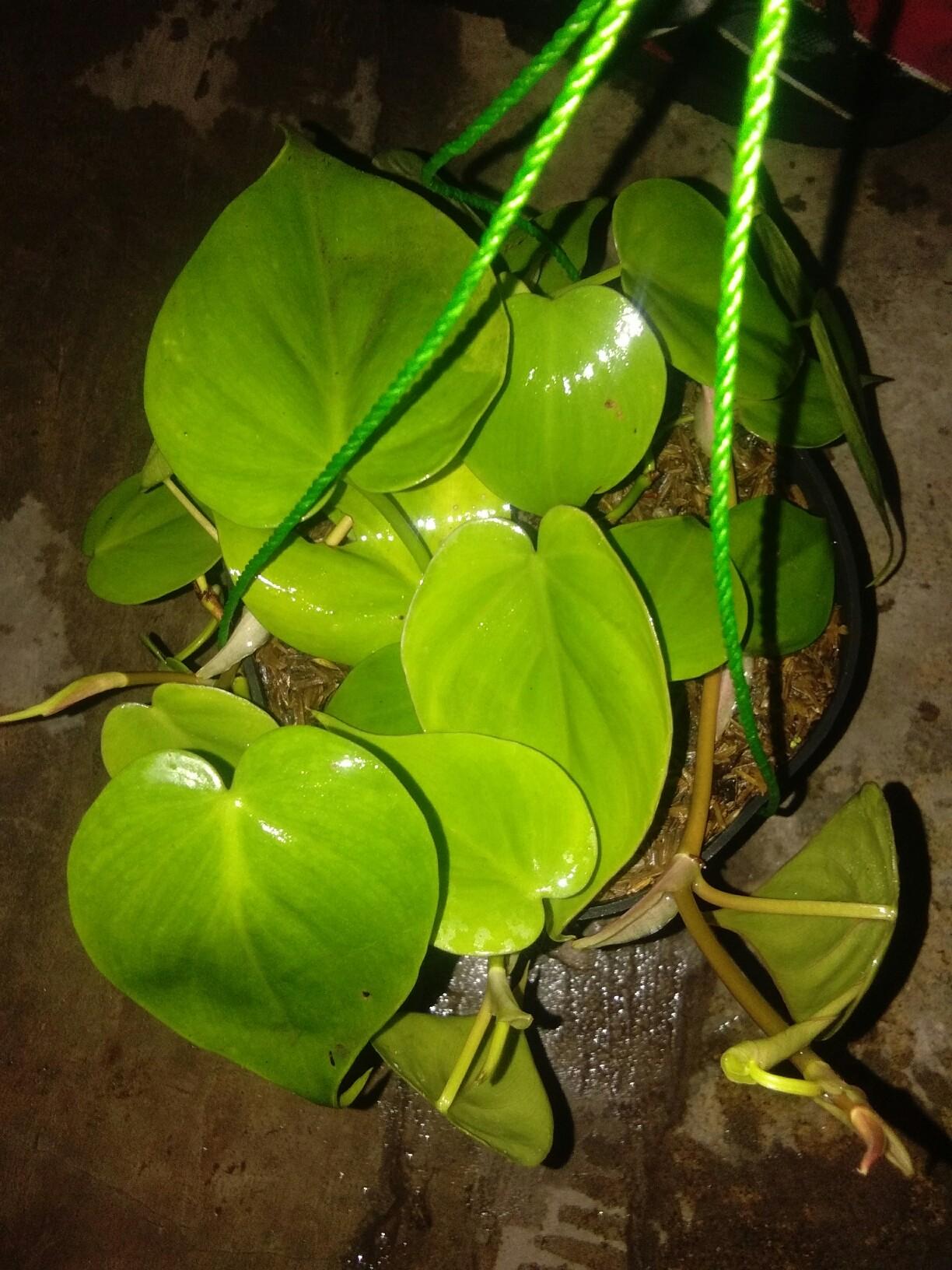 Tumbuhan sirih gading hijau
