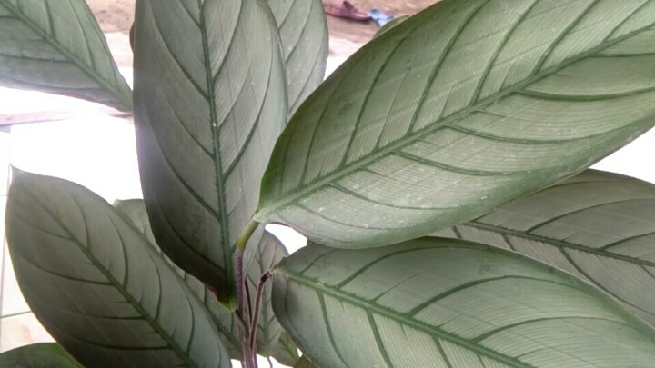 Jual tanaman calathea silver