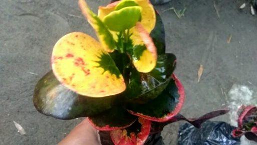 Jual bibit tanaman bunga puring apel koin merah