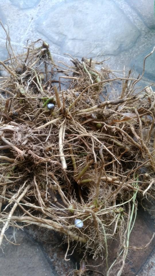 Jual akar tanaman biji jali jali