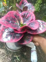 Bibit tanaman bunga puring bosarin