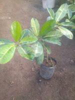 Jual Bibit tanaman buah Sawo Manila variegata