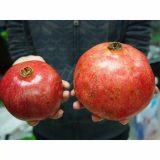 Jual Bibit tanaman buah Delima turki