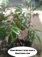 Tanaman buah Durian Duri Hitam kaki 3