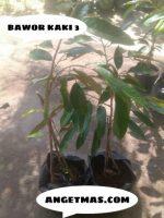 Jual Bibit tanaman buah Durian bawor kaki 3