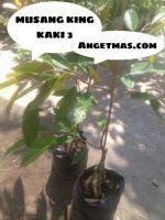 Bibit buah Durian Musang King Kaki 3