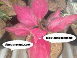Jual Bibit tanaman bunga red anjamani