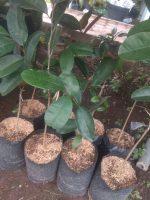 Bibit tanaman buah Kenitu ungu