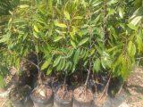 Jual Bibit tanaman buah musang king kaki 3