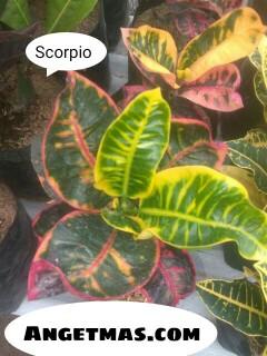 Jual Bibit tanaman puring Scorpio