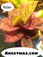 Jual tanaman puring rider