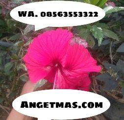 Bibit tanaman bunga Sepatu