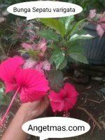 Bunga Sepatu varigata