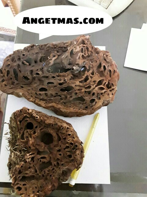 Jual Sarang semut Papua