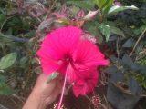 Tanaman bunga Sepatu Variegata