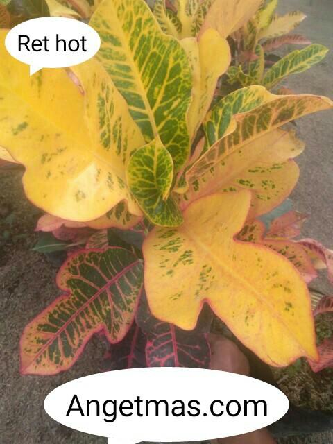 tanaman puring red hot