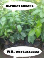 Jual Bibit tanaman buah Alpukat Subang