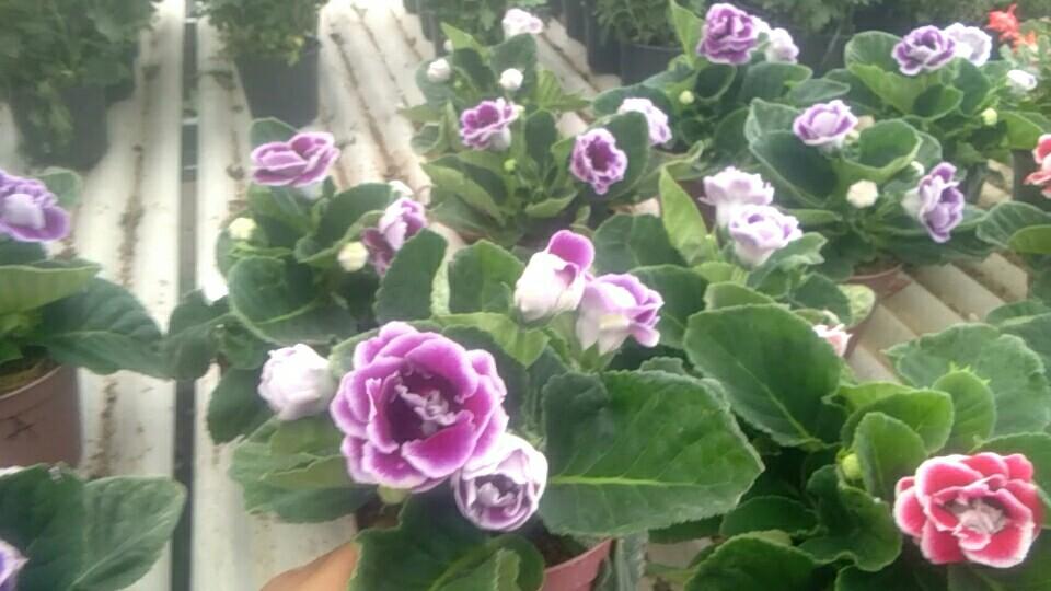 Tanaman hias bunga gloxina