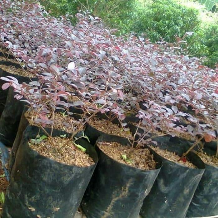 Tumbuhan bunga Roro pitalum