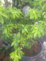 Bibit bunga Lavenia