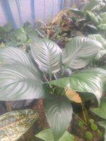 Bibit tanaman bunga Spatupilum bangkok