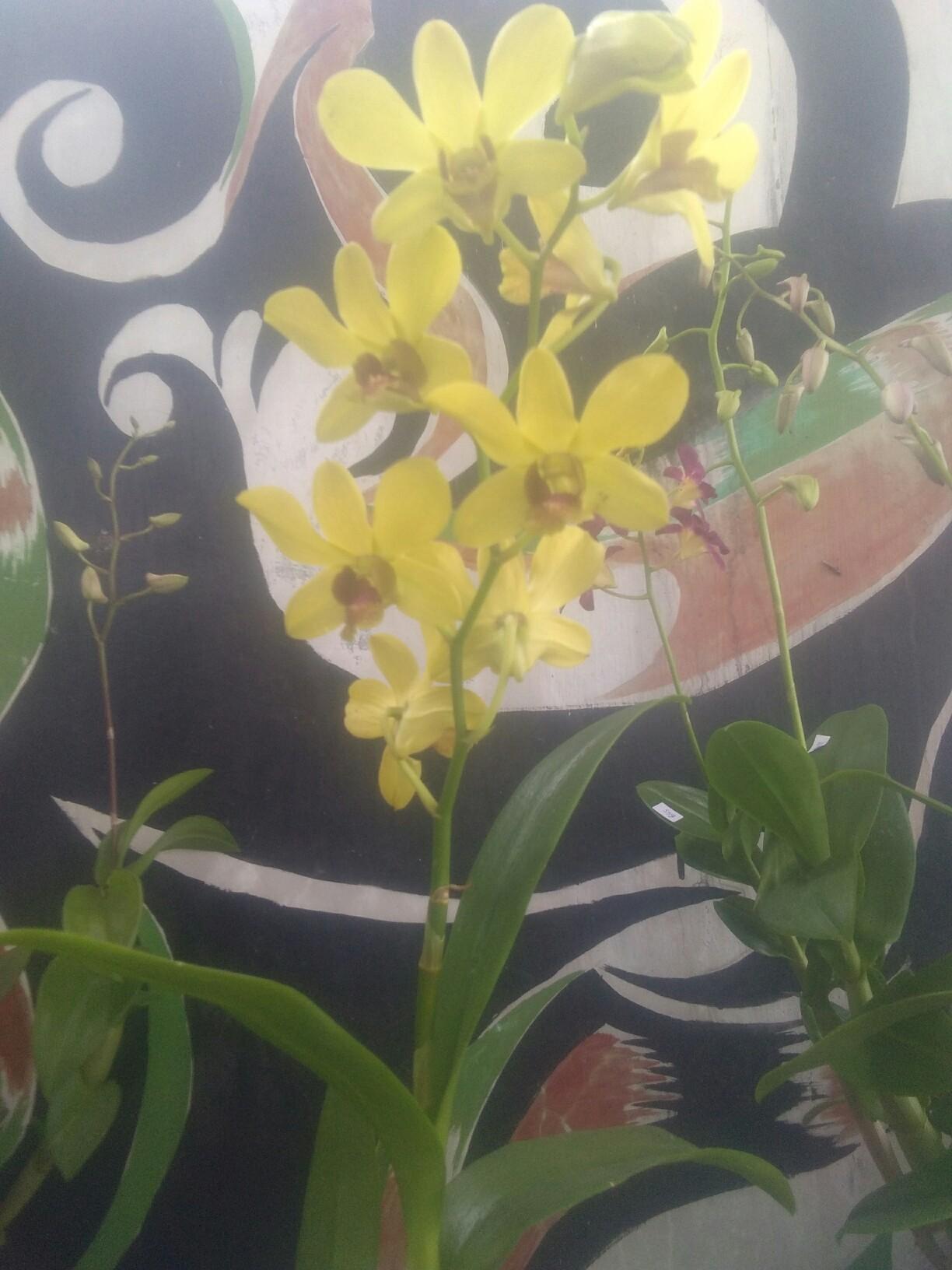 Bibit bunga anggrek dendro warna kuning
