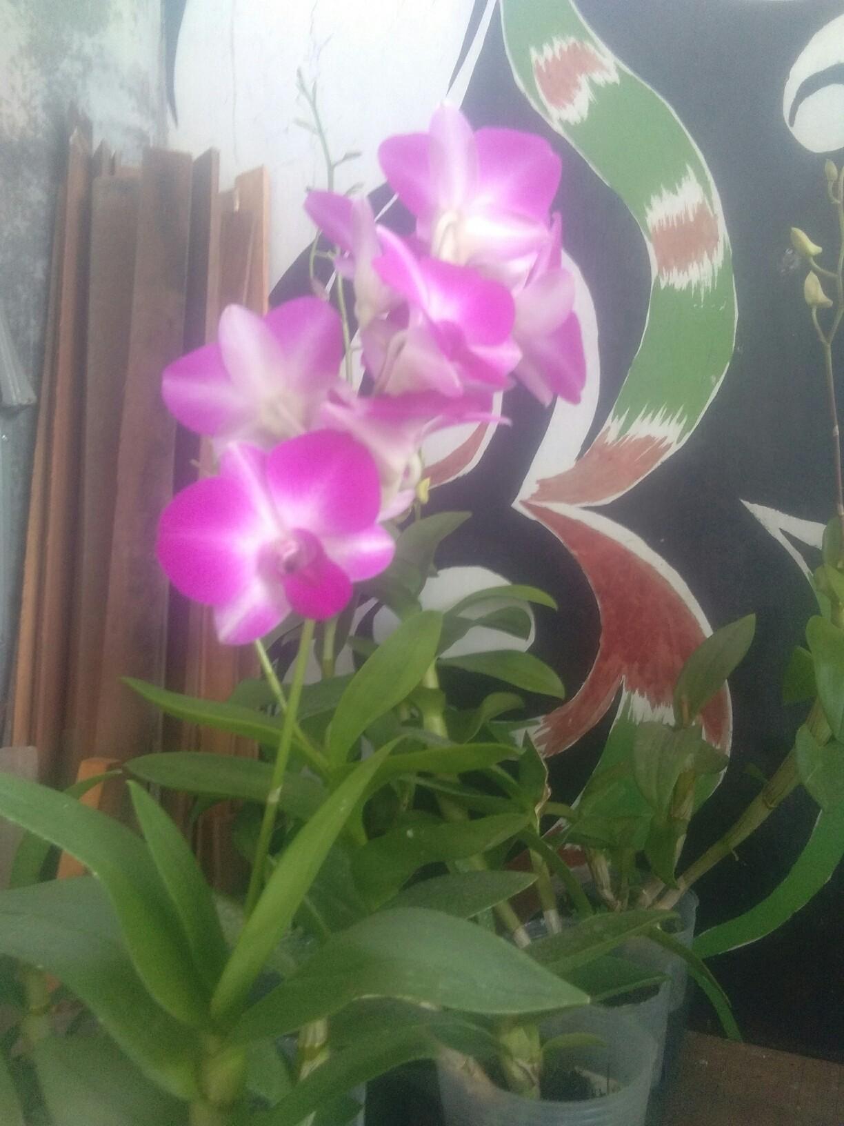tanaman bunga anggrek dendro warna ungu corak Putih siap berbunga