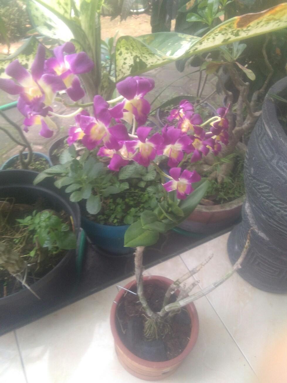 Jual bibit tanaman anggrek dendro