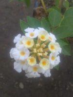 Bibit Tanaman Bunga lantana