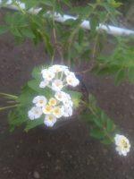 Bibit bunga lantana