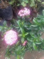 Jual bibit tanaman bunga asoka Warna merah muda