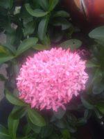 Bibit bunga Asoka warna merah muda