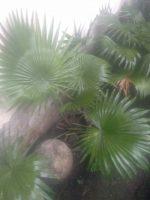 Jual Bibit palm sedeng