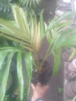Bibit tanaman bunga palm phoenix