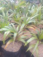 Bibit tanaman bunga palm botol
