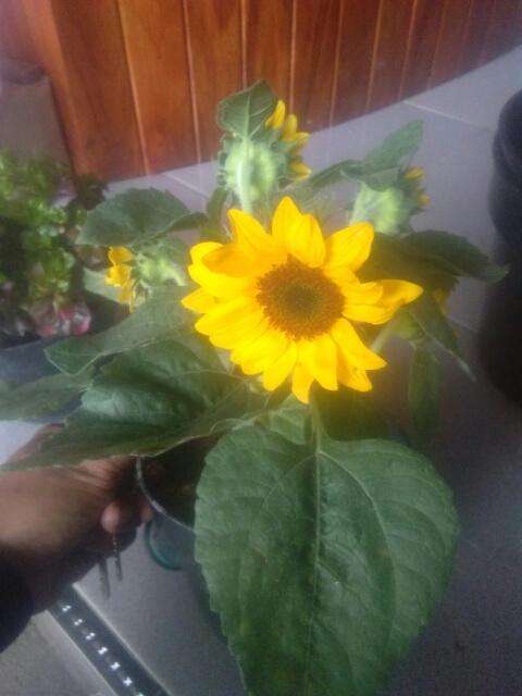 Jual bibit tanaman bunga Matahari Jepang