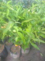 Bibit tanaman buah jambu dalhari