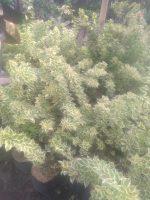 Bibit Tanaman Bunga bogenfil