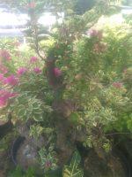 Tanaman bunga bogenfil