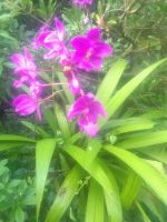 Bibit Bunga Anggrek Tanah
