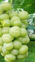 Buah Anggur Serto giant