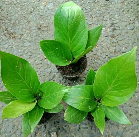 Bibit tanaman bunga jemani cobra