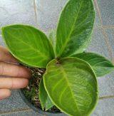 Bibit Tanaman Bunga Jemani mangkok